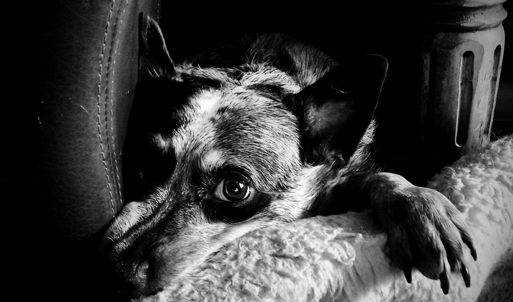 Beautiful expressive eyes of the Australian Cattle Dog